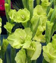 Gladiole Green Star