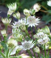Astrantia Snow Star