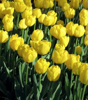 Tulip Friendship