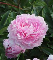 Päonie Sarah Bernhardt