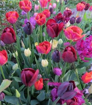 Flamenco Tulip Collection B