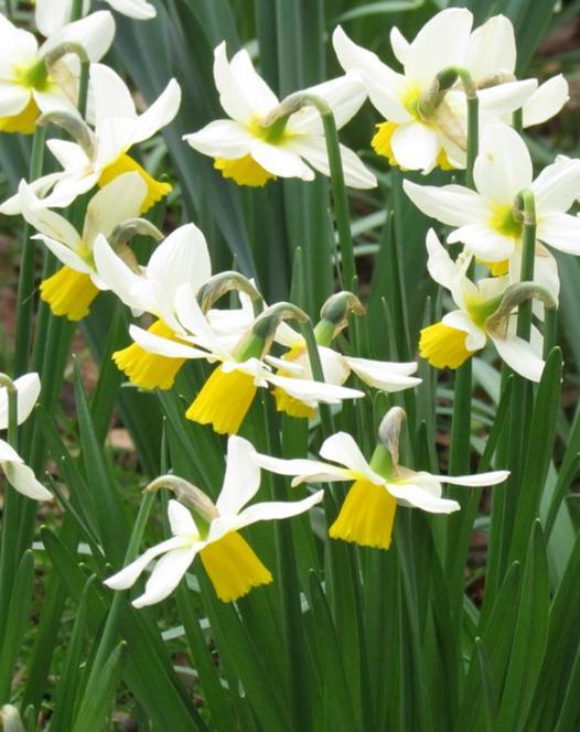 Narcissus Jack Snipe