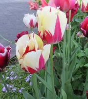 Tulpe World Expression