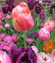 Tulpe Menton Exotic