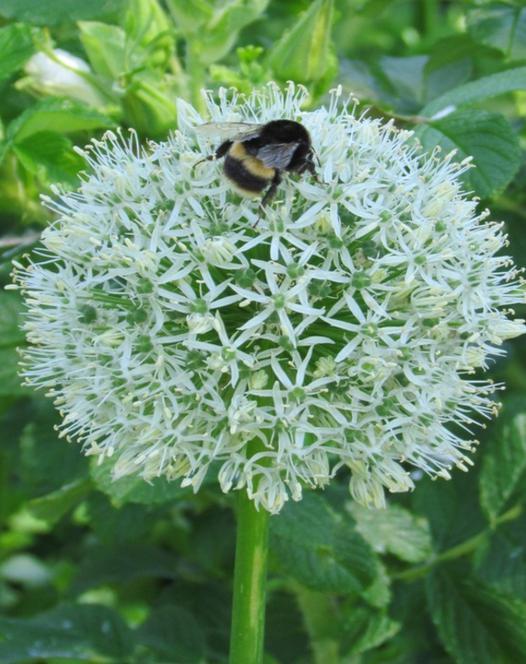 Allium White Beauty