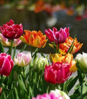 Gefüllte Frühe Tulpen Mischung