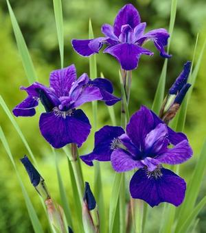 Iris Sibirica Caesar's Brother