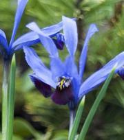 Iris Reticulata Halkis