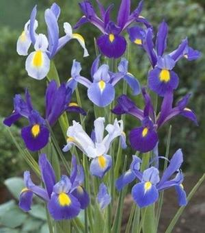 Dutch Iris Pretty in Blue Mixture