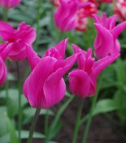 Tulpe Jazz