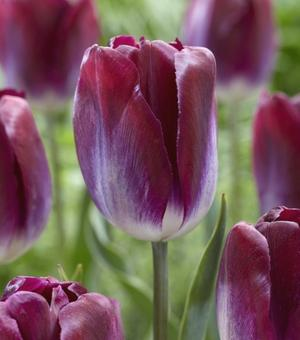 Tulip Kansas Proud