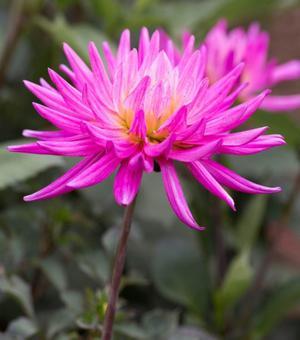 Dahlie Karma Pink Corona ®