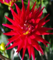 Dahlie Karma Red Corona
