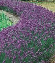 Lavendel Munstead Dwarf