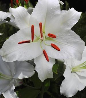 Lilie Casa Blanca