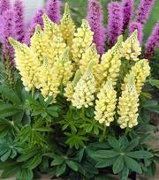 Lupinus Gallery Yellow