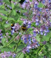 Nepeta Blue Wonder