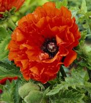 Papaver Eye Catcher