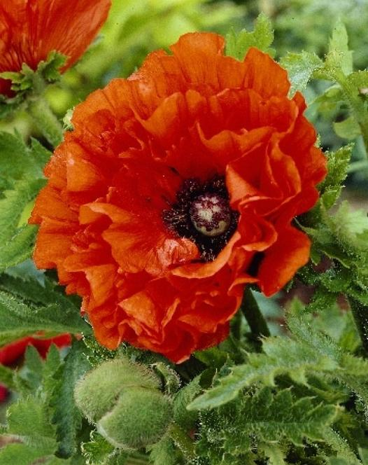 Papaver (Poppy) Eye Catcher