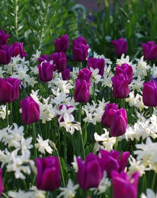 Tulpe Passionale