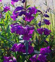 Penstemon Russian River