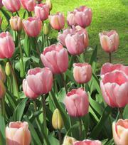 Tulpe Pink Impression