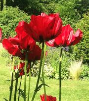 Papaver (Mohnblume) Beauty of Livermere