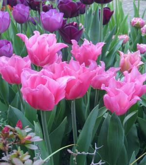 Tulpe Pretty Love