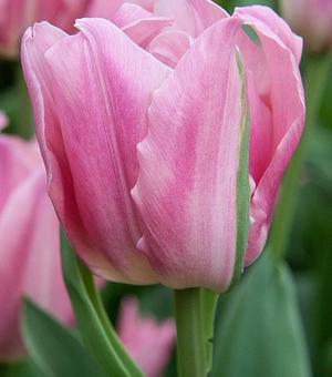 Tulip Pretty Lady