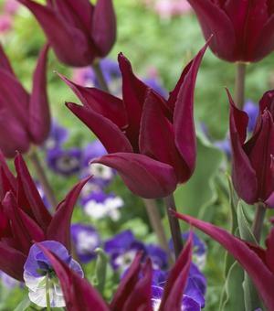 Tulip Purple Heart
