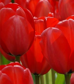 Tulpe Red Impression