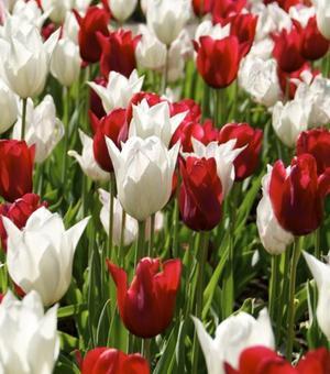 Kollektion Rote und Weiße