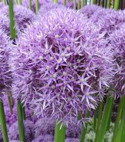 Allium Beau Regard
