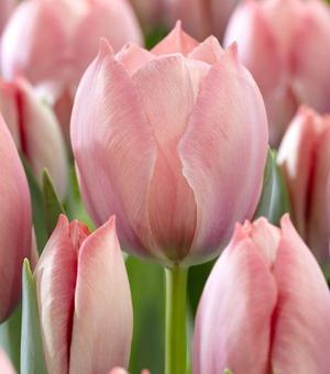 Tulip Salmon Van Eijk