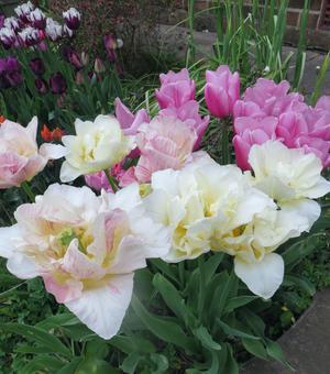 Tulip Silk Road
