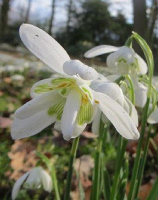 Gefüllte Schneeglöckchen (Flore Pleno)