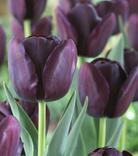 Tulpe Queen of Night
