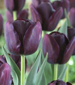 Tulpe Queen of Night