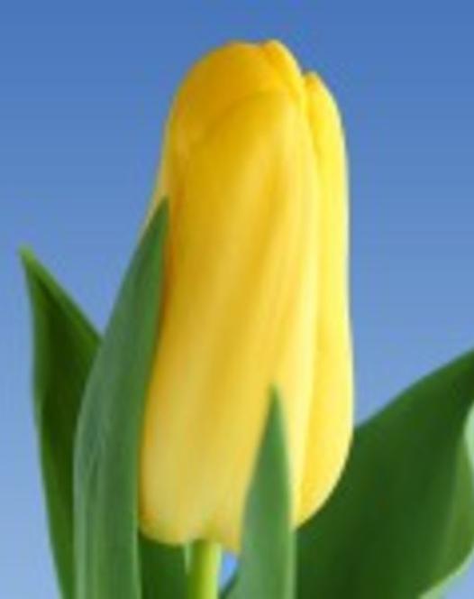 Tulpe Lion's Glorie