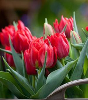 Tulpe Abba