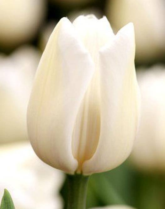 Tulpe Angel's Wish