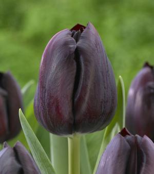 Tulpe Ayaan