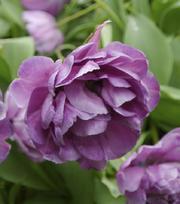 Tulpe Blue Diamond