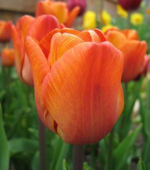 Tulpe Cairo