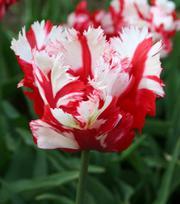Tulpe Estella Rijnveld