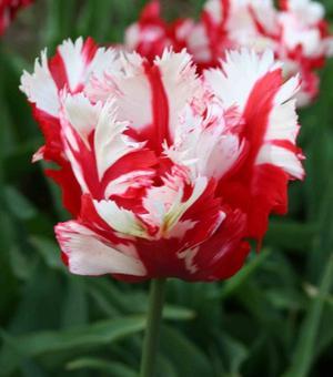 Tulpe Estella Rynveld