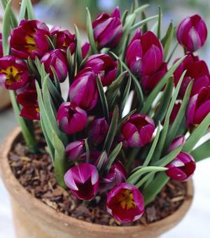 Tulpe Humilus Odalisque