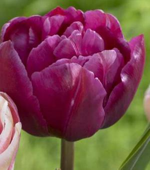 Tulpe Margarita