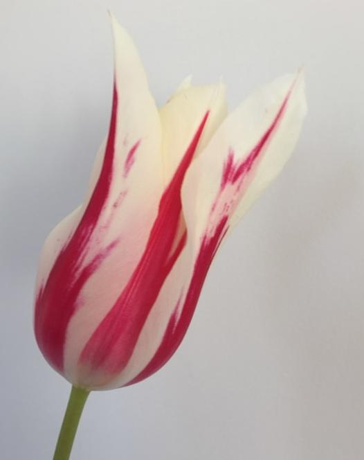 Tulpe Marilyn