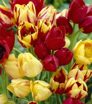 Tulip Multi-headed Mixture
